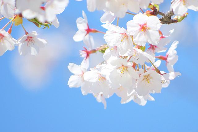 川口市近郊 駐車場あり桜の名所5選 ドライブに最適なお花見スポット
