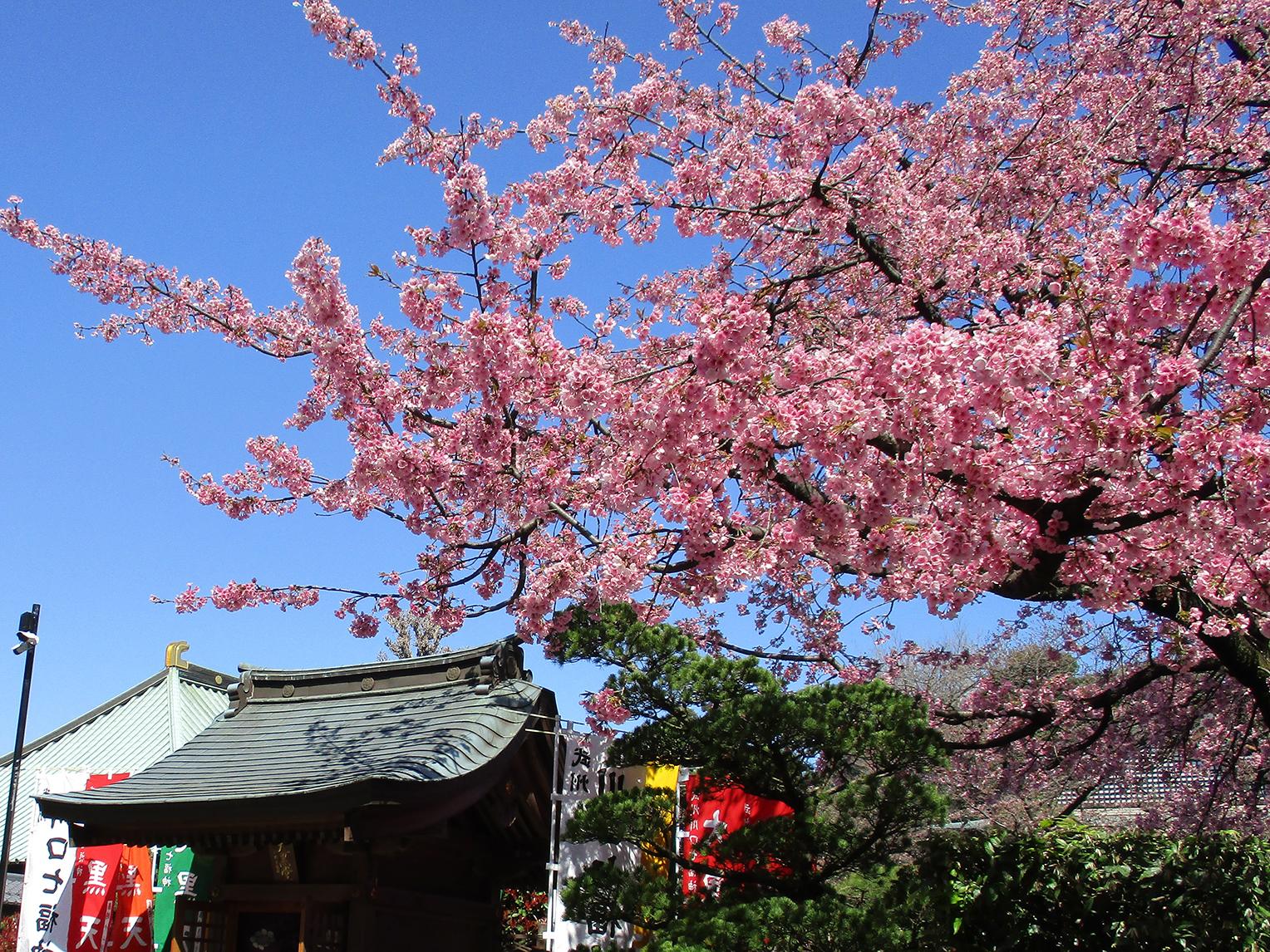 密蔵院(川口)のアクセスや駐車場の混雑具合は?安行桜の満開見頃に訪問!